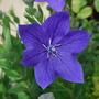 Platycodon.... (Platycodon grandiflorus (Balloon Flower))