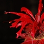 Monarda (Monarda didyma (Bergamot))