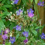 Rosa 'Purple Skyliner' with Geranium 'Nimbus'