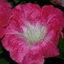 DSC 0533 Petunia
