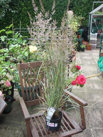"Calamagrostis x acutiflora ""Overdam"" (Calamagrostis x acutiflora (Feather Reed Grass))"