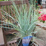 Elymus Magellanicus Blue Sword (Elymus magellanicus)