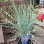 Elymus Magellanicus Blue Sword (Elymus magellanicus)