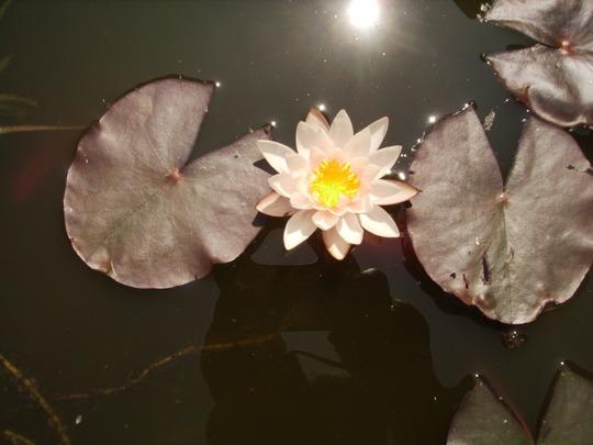 Water Lily (Nymphaea Odorata) 06.08 (Nymphaea odorata (Vistabile))