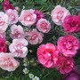 'Doris' Pinks (Dianthus)