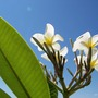 Plumeria_samoan_fluff_against_blue_chicago_sky....june_28_2011
