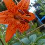 freebie lily (lilium)