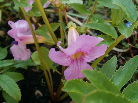 chinese trumpet flower re-flowering (incarvillea delavayi)
