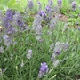 English Lavender 'Hidcote' (Lavandula x intermedia (English Lavender))