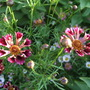 Coreopsis_ruby_frost_