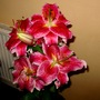 Lilium speciosum rubrum 'Star Gazer'