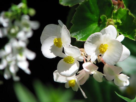 Early Winter in N.E. Downunder - Begonia semperflorens (Begonia semperflorens-cultorum)