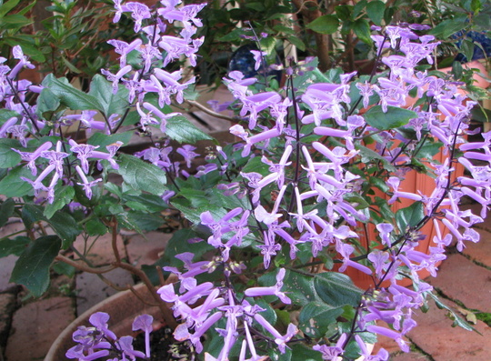 Early Winter in N.E. Downunder - Plectranthus 'Mona Lavender' (Plectranthus)