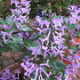 Early Winter in N.E. Downunder - Plectranthus 'Mona Lavender' (Plectranthus)