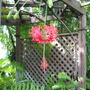 Early Winter in N.E. Downunder - Hibiscus schizopetalus/Japanese Lantern (Hibiscus schizopetalus (Japanese Lantern or Skeleton Hibiscus))