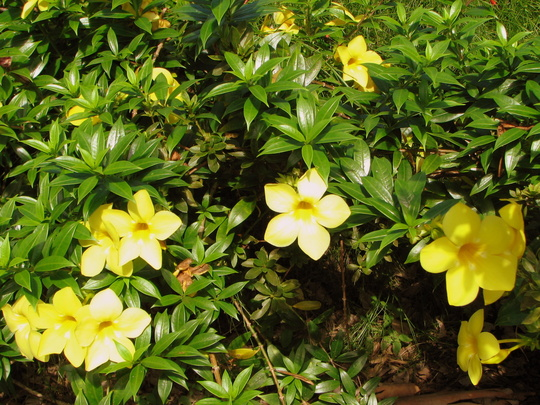 Early Winter in N.E. Downunder - Allamanda cathartica 'Sunee' (Allamanda cathartica)