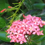 Early Winter in N.E. Downunder - Ixora  (Ixora chinensis)