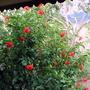 Hibiscus_rosa_sinensis_8