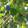 Early Winter in N.E. Downunder - Garden visitor / Rainbow Lorikeet
