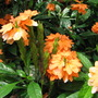 Early Winter in N.E. Downunder - Crossandra infundibuliformis/Firecracker Plant (Crossandra infundibuliformis (Firecracker Flower))