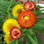 Early Winter in N.E. Downunder - Bracteantha bracteata/Paper Daisy (Bracteantha bracteata, Helichrysum bracteatum)