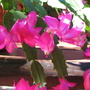Early Winter in N.E. Downunder - Schlumbergera / Zygocactus (Schlumbergera)