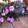 Early Winter in N.E. Downunder - Impatiens hawkeri 'Celebrette Orchid Star' (Impatiens hawkeri (New Guinea impatiens))