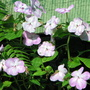 Early Winter in N.E. Downunder - Impatiens walleriana (Impatiens walleriana (Busy Lizzie))