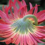 Early Winter in N.E. Downunder - a shy Gerbera (Gerbera jamesonii)