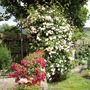 The rose arch to the veg garden is blooming lovely!