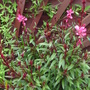 Gaura out at last,worth the wait !