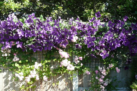 Clematis and rose doing well