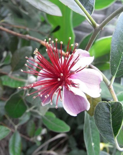 Acca sellowiana - 2011 (Acca sellowiana)