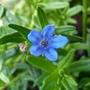 Lithodora diffusa (Lithodora)