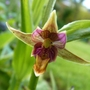 Epipactis Gigantea...first flower fully open now. (Epipactis gigantea (Chatterbox))