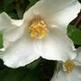 Philadelphus_belle_etoile_flower_bud
