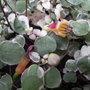 Fuchsia_procumbens_argentea_2011