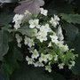 Hydrangea quercifolia 'Snowflake' - 2011 (Hydrangea quercifolia)