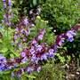 Salvia   [For Sindbad]
