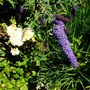 Buddleia (Buddleja davidii (Butterfly bush))