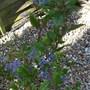 Ceanothus_autumnal_blue_