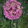 Allium_purple_sensation_in_the_lavender