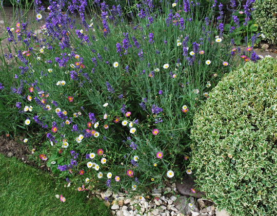 Erigeron karvinskianus growing through lavender. (Erigeron acer (Blue Fleabane))
