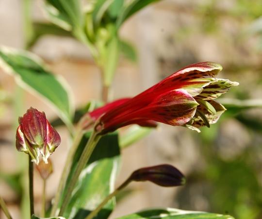 "Alstroemeria psittacina ""Royal Star"" (Alstroemeria psittacina (White edged Peruvian Lily))"