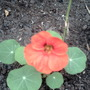 My 1st Nasturtium (Nasturtium officinale (Watercress) (i think))