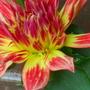 Dahlia Red & Yellow