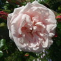 A_pink_rose_on_the_trellis