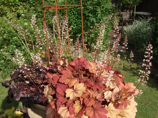 Heucherella Sweet tea in bed with H. Metallica I think they suit each other