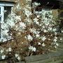 My beautiful Magnolia