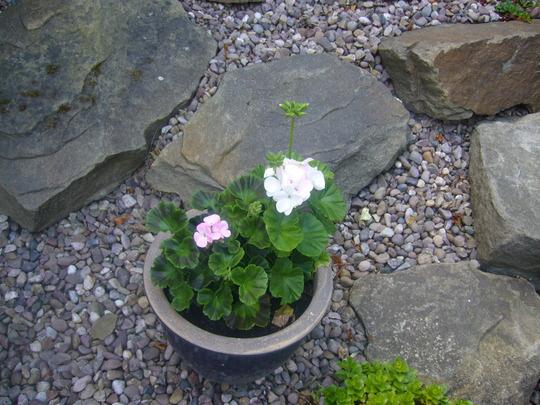 Geranium, garden pot.